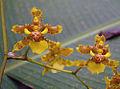 Oncidium lineoligerum, Lluvia del Oro flowers. (11059196454).jpg