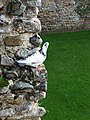 One of the current residents of Framlingham Castle - geograph.org.uk - 1760814.jpg