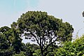 One of the tree of Botanical garden of Curzon hall.JPG