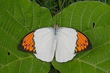 Open wing position of Hebomoia glaucippe Linnaeus, 1758 – Great Orange-tip.jpg