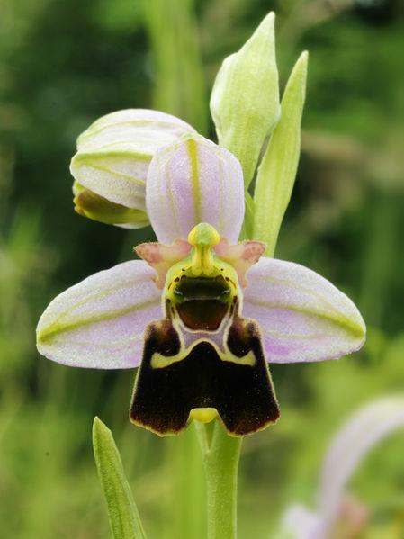 File:Ophrys fuciflora (flower).jpg