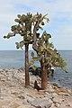 Opuntia echios, Santa Fe Island 01.jpg