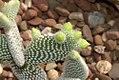 Opuntia microdasys albispina 0zz.jpg