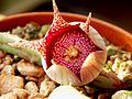 Orbeanthus hardyi (R.A. Dyer) L.C. Leach (2).jpg