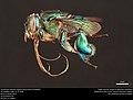 Orchid bee (Apidae, Euglossa hemichlora (Cockerell)) (36180893723).jpg