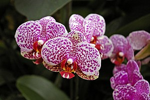 English: Orchids, Kew Gardens, Surrey Orchids ...