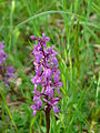 Orchis mascula (4).JPG
