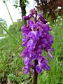 Orchis mascula 14.JPG