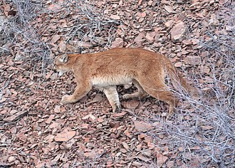 North American cougar - At Beulah Wildlife Management Unit in Malheur County, Oregon, the United States of America