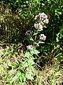 Origanum vulgare subsp. vulgare sl8.jpg