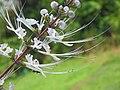 Orthosiphon aristatus flower (3).jpg