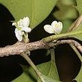 Osmanthus heterophyllus (flower s8).jpg