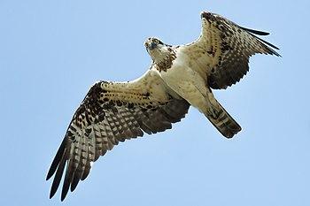 Osprey-4865.jpg