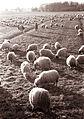 Ovce v Spuhlji 1962.jpg