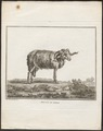 Ovis aries - 1767 - Print - Iconographia Zoologica - Special Collections University of Amsterdam - UBA01 IZ21300083.tif