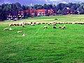 Owce - panoramio.jpg