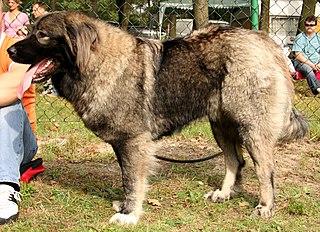 Caucasian Shepherd Dog Dog breed