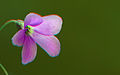 Oxalis triangularis stereoscopic Richard Bartz.jpg