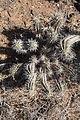 Pájara - Carretera Punto de Jandía - Euphorbia handiensis 15 ies.jpg