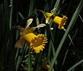Påskelilje Narcissus pseudonarcissus.jpg