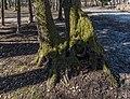 Pörtschach Halbinselpromenade Park bemooste Baumstämme 08032017 6487.jpg