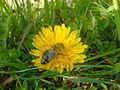 Pčela na maslačku 3.JPG