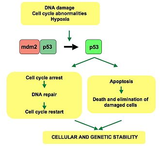 P53 - p53 pathway: In a normal cell, p53 is inactivated by its negative regulator, mdm2. Upon DNA damage or other stresses, various pathways will lead to the dissociation of the p53 and mdm2 complex. Once activated, p53 will induce a cell cycle arrest to allow either repair and survival of the cell or apoptosis to discard the damaged cell. How p53 makes this choice is currently unknown.