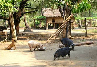 Mro people - PICT0360 Burma Chin State Traditional Village (7864250886)