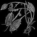 PSM V08 D041 Hydra vulgaris.jpg