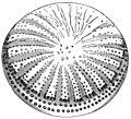 PSM V41 D214 Stictodiscus californicus.jpg