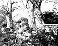 PSM V52 D798 Monkey tamarind trees.jpg
