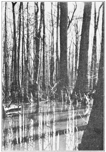PSM V85 D355 Cypress with knees in a creek swamp in alabama.png