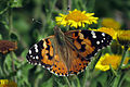 Painted Lady (Vanessa cardui) (9646698607).jpg