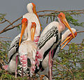 Painted Stork (Mycteria leucocephala) in Uppalapadu, AP W2 IMG 5067.jpg