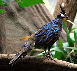 Palawan Peacock Pheasant - male