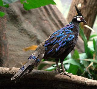 Palawan peacock-pheasant species of bird