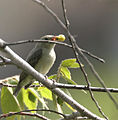 Pale-billed Flowerpecker (Dicaeum erythrorhynchos) with a Singapur cherry (Muntingia calabura) in Hyderabad, AP W IMG 7763.jpg