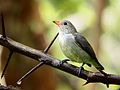 Pale billed Flowerpecker2.jpg