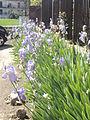 Pale violet flowers.JPG