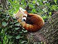 Panda minore (Ailurus fulgens).JPG