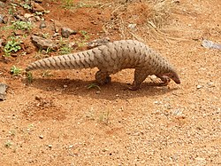 Pangolin brought to the Range office, KMTR AJTJ.jpg