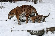 online datování tygr obrázekmikroskop seznamka