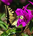 Papilio machaon (KPFC) (04).jpg