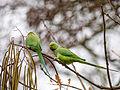 Parakeets (11385086635).jpg