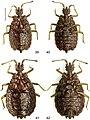 Paralibiocoris hainanensis (10.3897-zookeys.789.26165) Figures 39–42.jpg