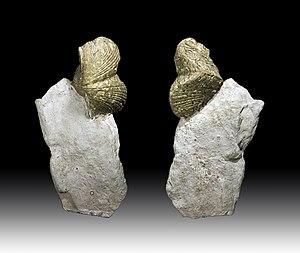 Lucas County, Ohio - Devonian shell of Sylvania