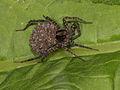 Pardosa lugubris (wulf spider with offspring - Wolfsspinne mit Nachkommen) (7568082740).jpg