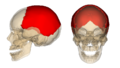 Parietal bone.png