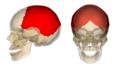 Parietal bone.png