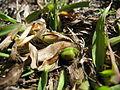 Paspalum dilatatum leaf sheath3 (14488794246).jpg